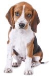 Concerned_Beagle.png