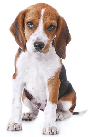 Concerned_Beagle.png